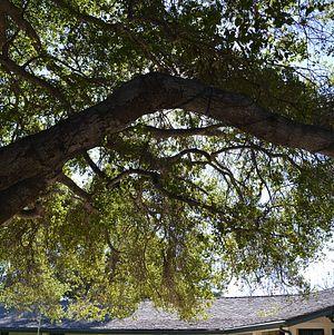 Upper Las Virgenes Tree Lights
