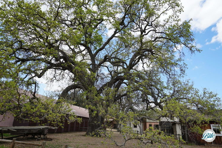 Beautiful tree next to the barn in Western Town at Paramount Ranch.